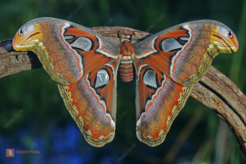 Atlasseidenspinner atlas Weibchen
