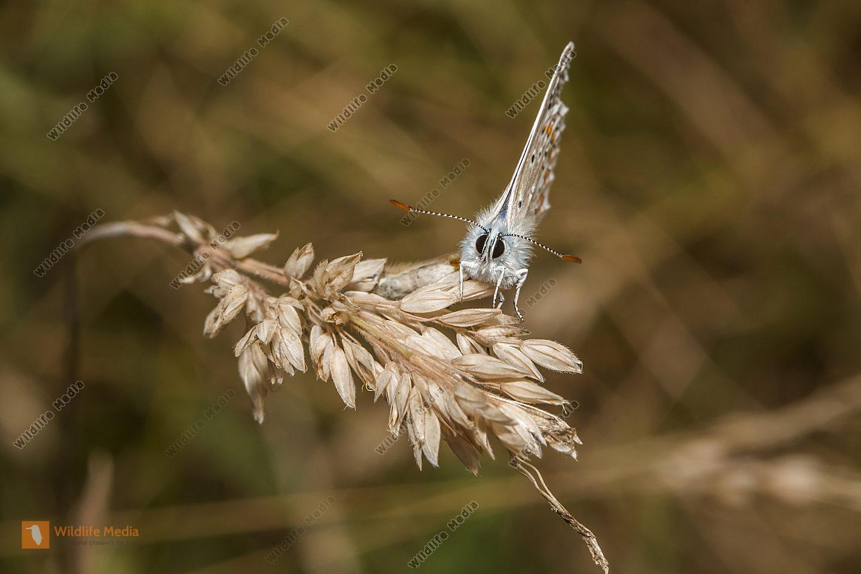 Hauhechelbläuling sitzt auf einem Grashalm