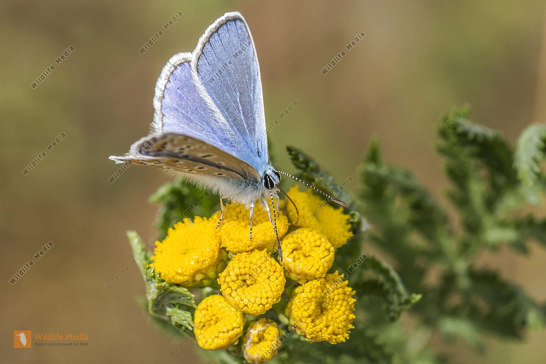 Hauhechelbläuling sitzt an einer Blüte