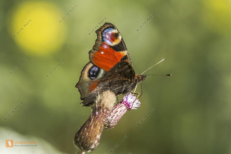 Ein Tagpfauenauge ruht auf einer Blüte