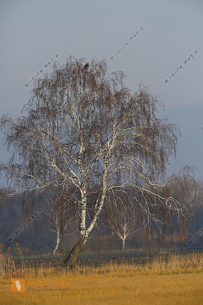 Birke mit Kaiseradler