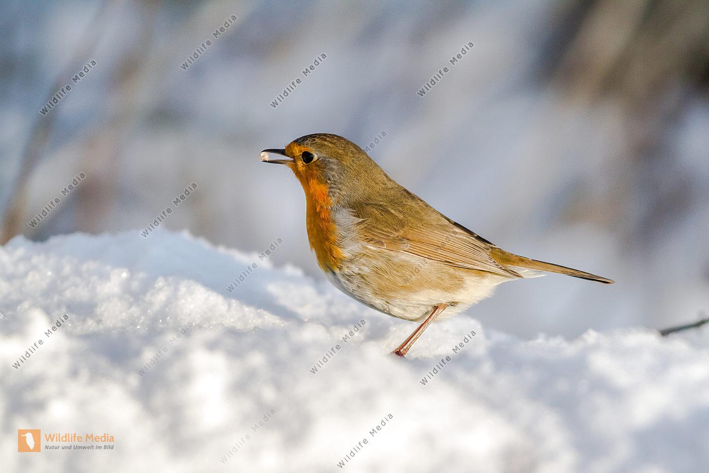 Ein Rotkehlchen auf Futtersuche im Schnee