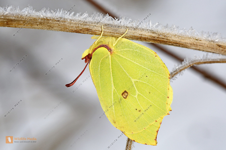 Zitronenfalter Bilder - Wildlife Media Bildagentur - Natur