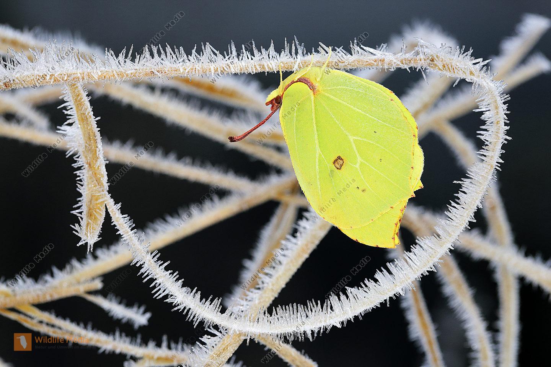 Zitronenfalter bei Überwinterung
