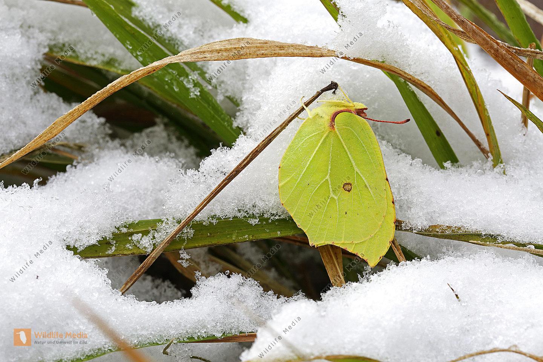 zitronenfalter winter bilder wildlife media bildagentur natur und umwelt im bild. Black Bedroom Furniture Sets. Home Design Ideas