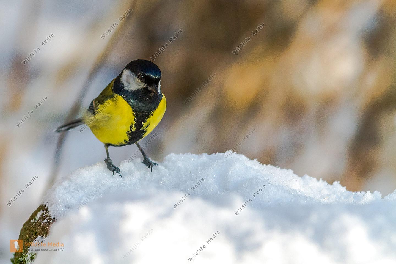Kohlmeise im Schnee auf Nahrungssuche