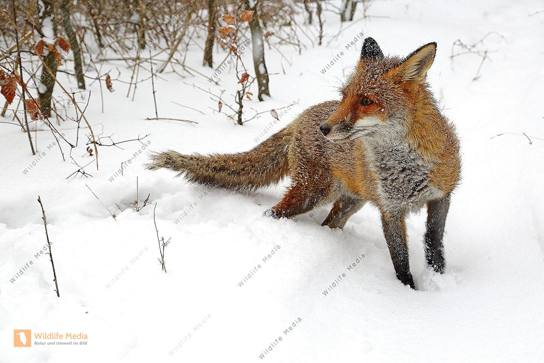 Rotfuchs im Schnee