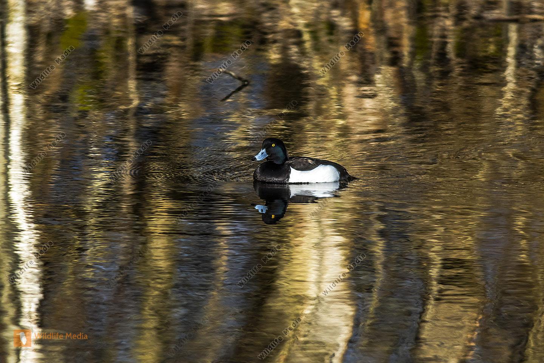 Reiherente auf dem Wasser