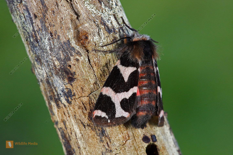 Labkrautbär Weibchen