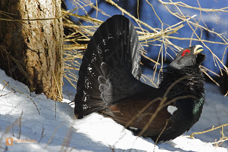 Balzender Auerhahn im Schnee