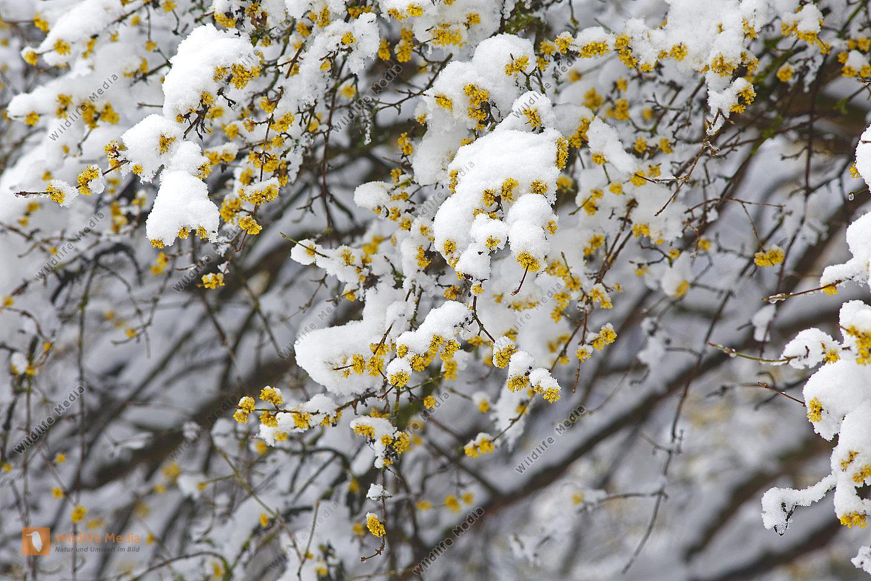 Blühender Dirndlstrauch im Schnee