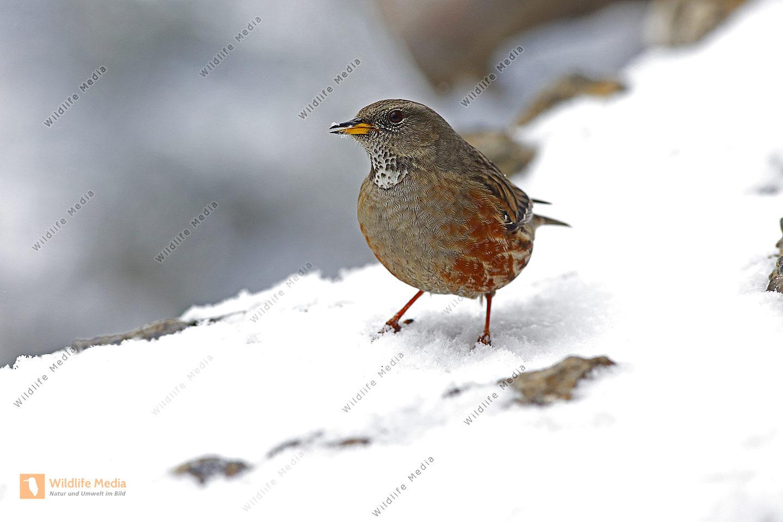 Alpenbraunelle im Winter