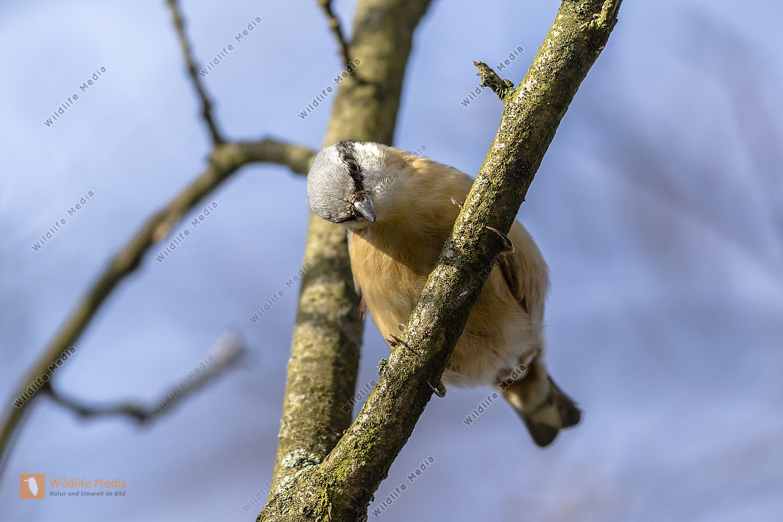 Ein Kleiber am Baum auf Nahrungssuche