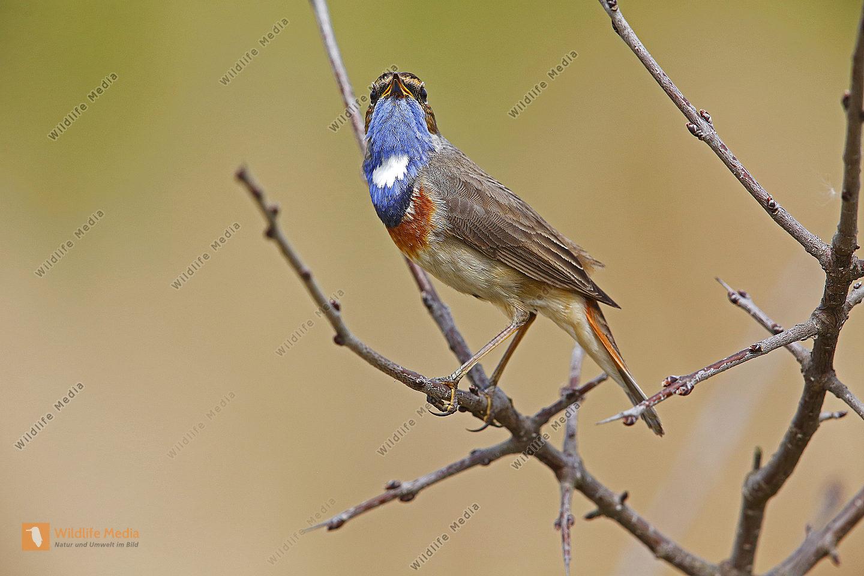 Weißsterniges Blaukehlchen Männchen