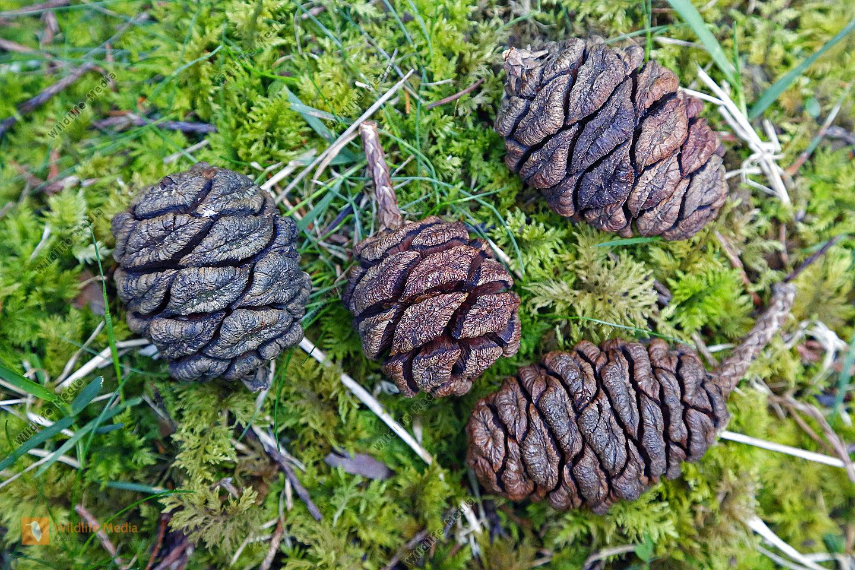 Mammutbaum Zapfen