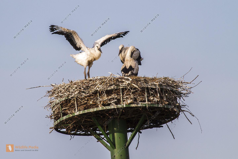 Drei Jungstörche im Nest warten auf Futter