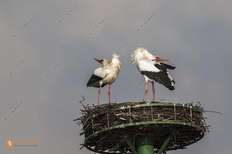 Weißstörche beim Nestbau und der Nestpflege