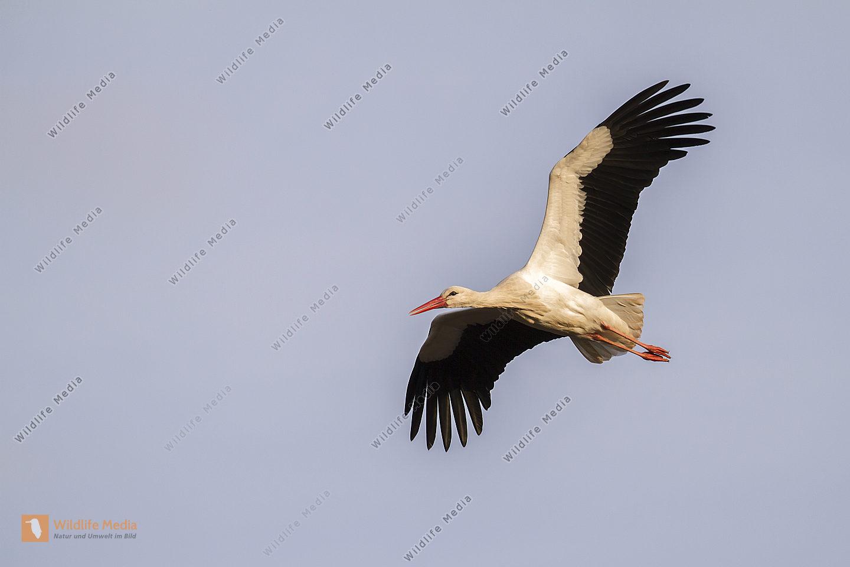 Ein Weißstorch im Flug