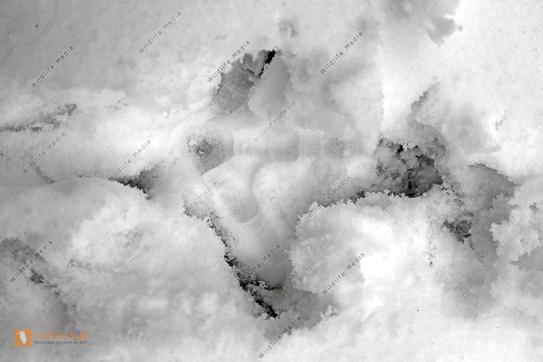 Frische Auerhahnspur im Schnee