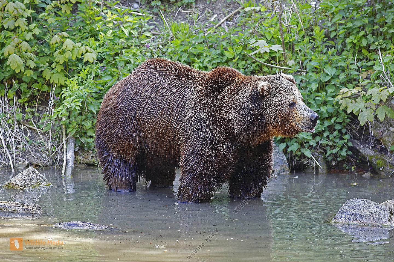 Braunbär Männchen