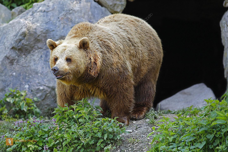 Braunbär Weibchen