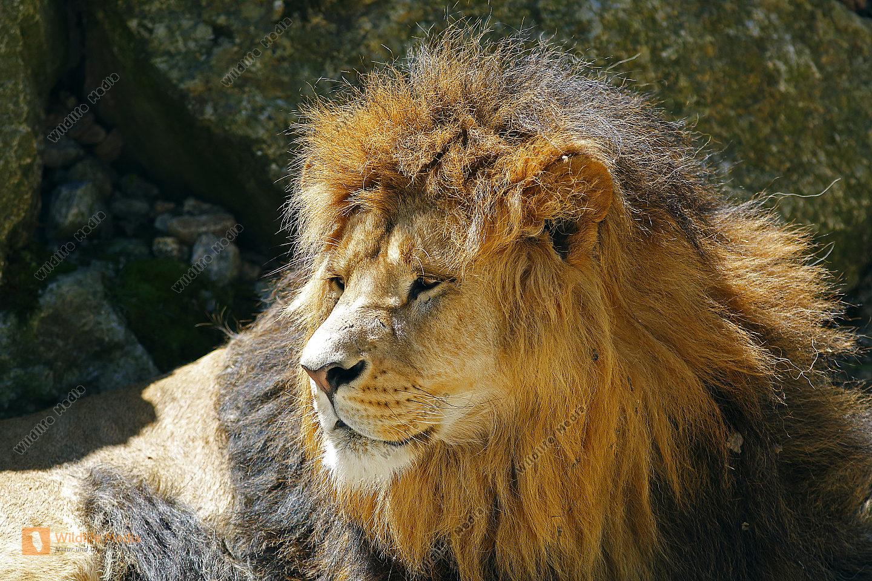 Löwe Männchen