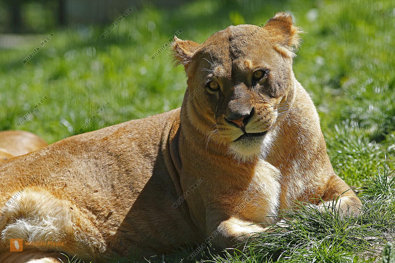 Löwe Weibchen