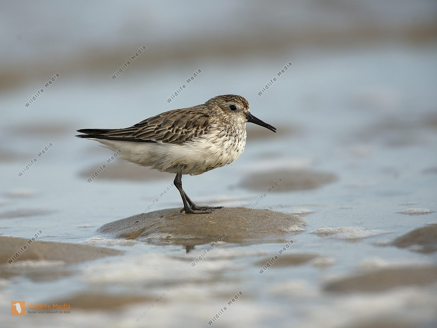 Alpenstrandläufer Calidris alpina