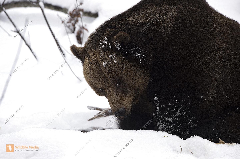 Braunbär Ursus arctos