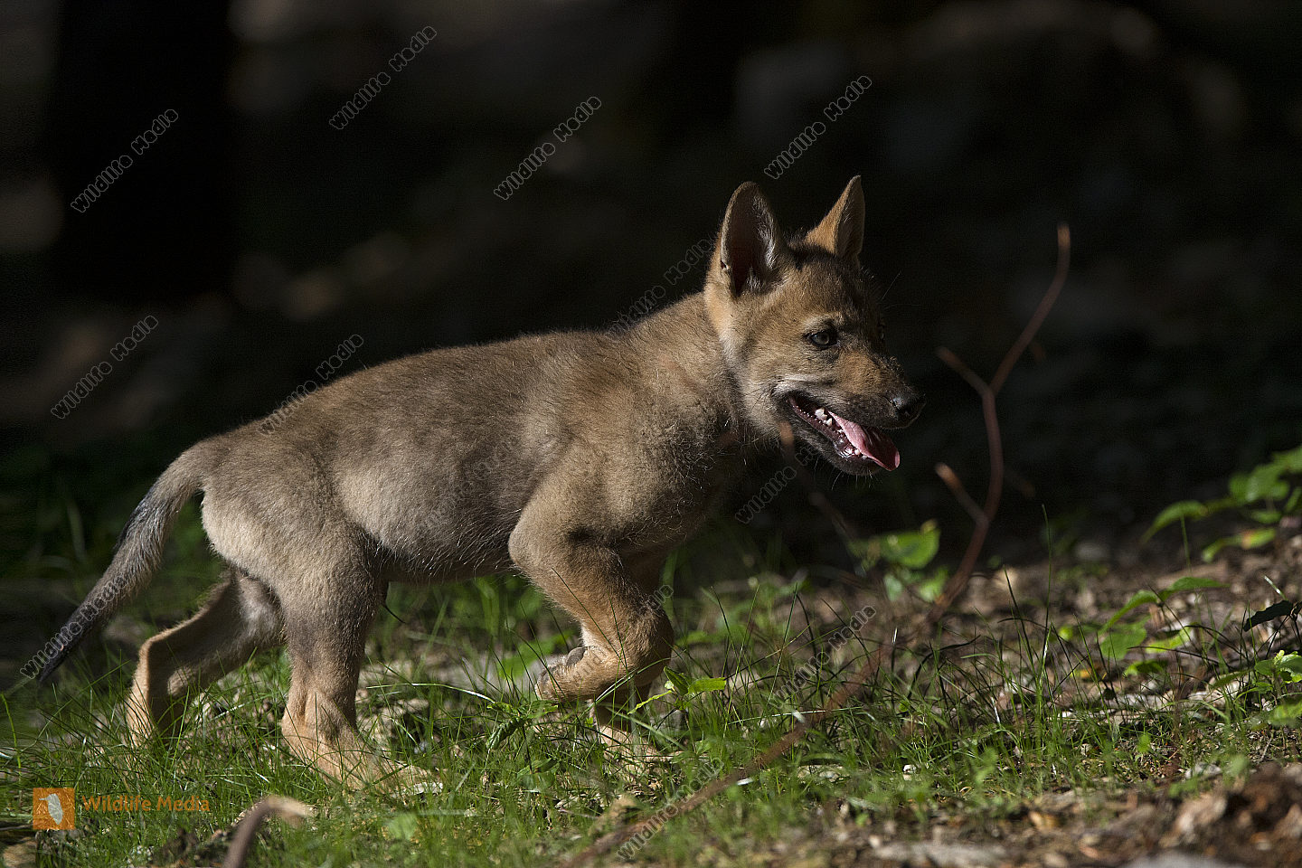 Junger Wolf Canis lupus