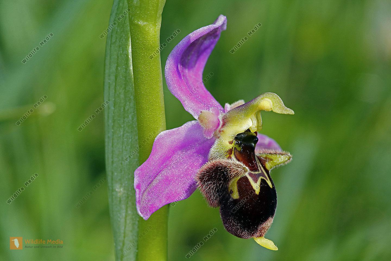 Hummelragwurz mit Bienenragwurz Hybrid