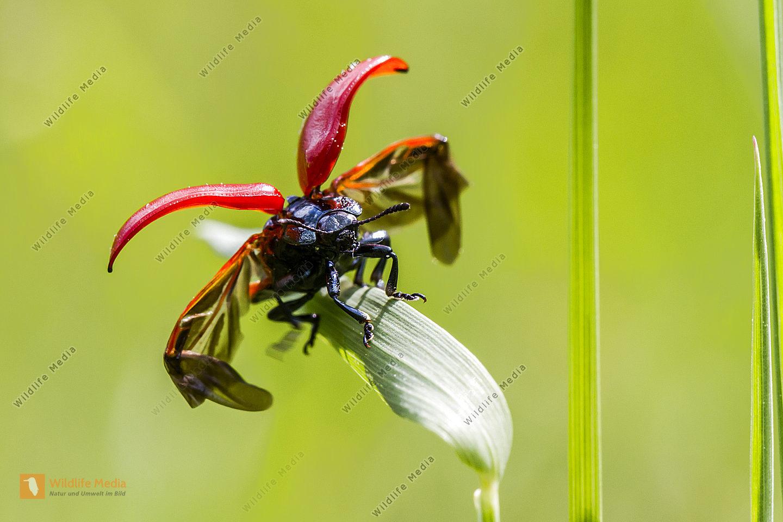 Pappelblattkäfer spreizt die Flügel zum Abflug
