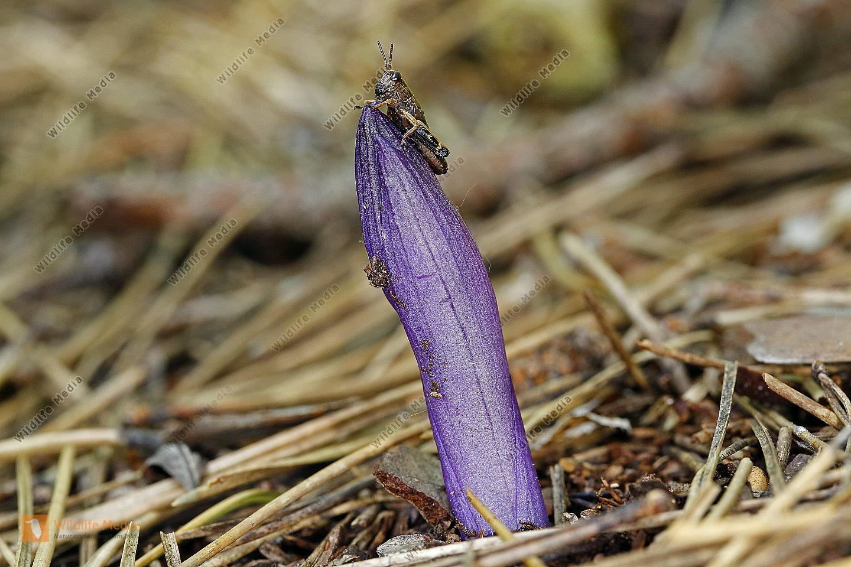 Violetter Dingel