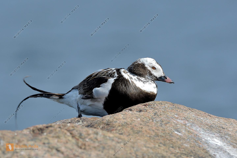 Eisente (Clangula hyemalis) Long-tailed Duck