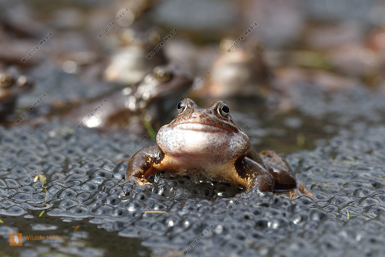 Grasfrosch (Rana temporaria) Grass Frog