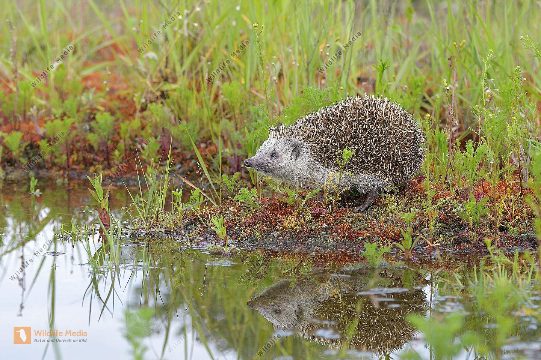 Igel (Erinaceus europaeus) hedgehog