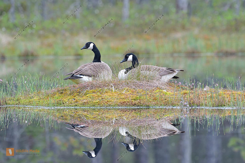 Kanadagans Branta canadensis Canada Goose