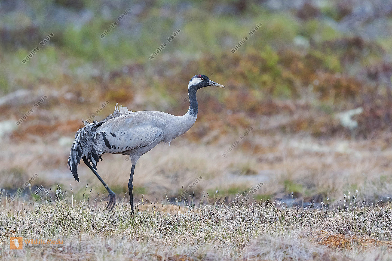 Kranich Grus grus Common Crane