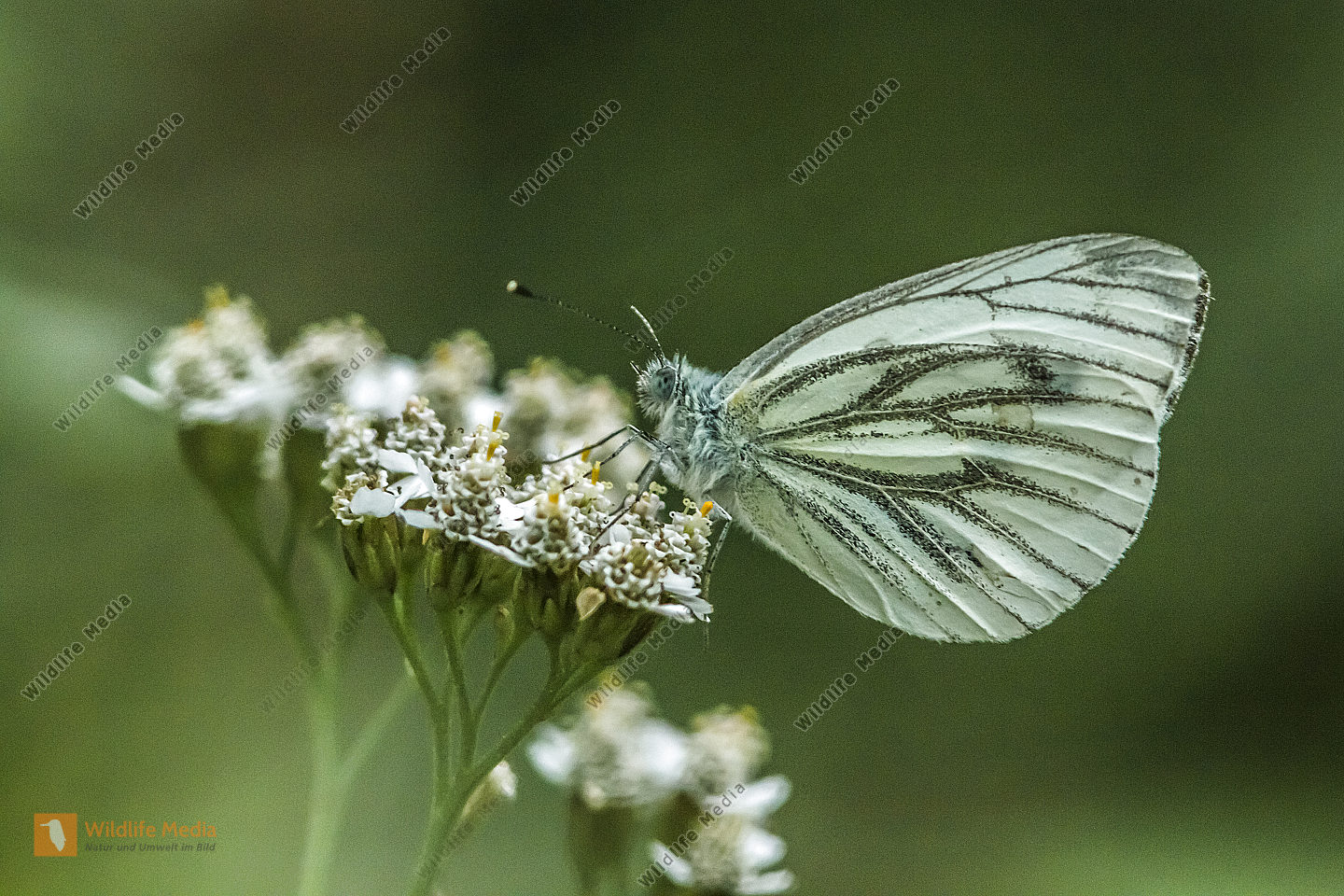 A green-veined white is sitting on a flower