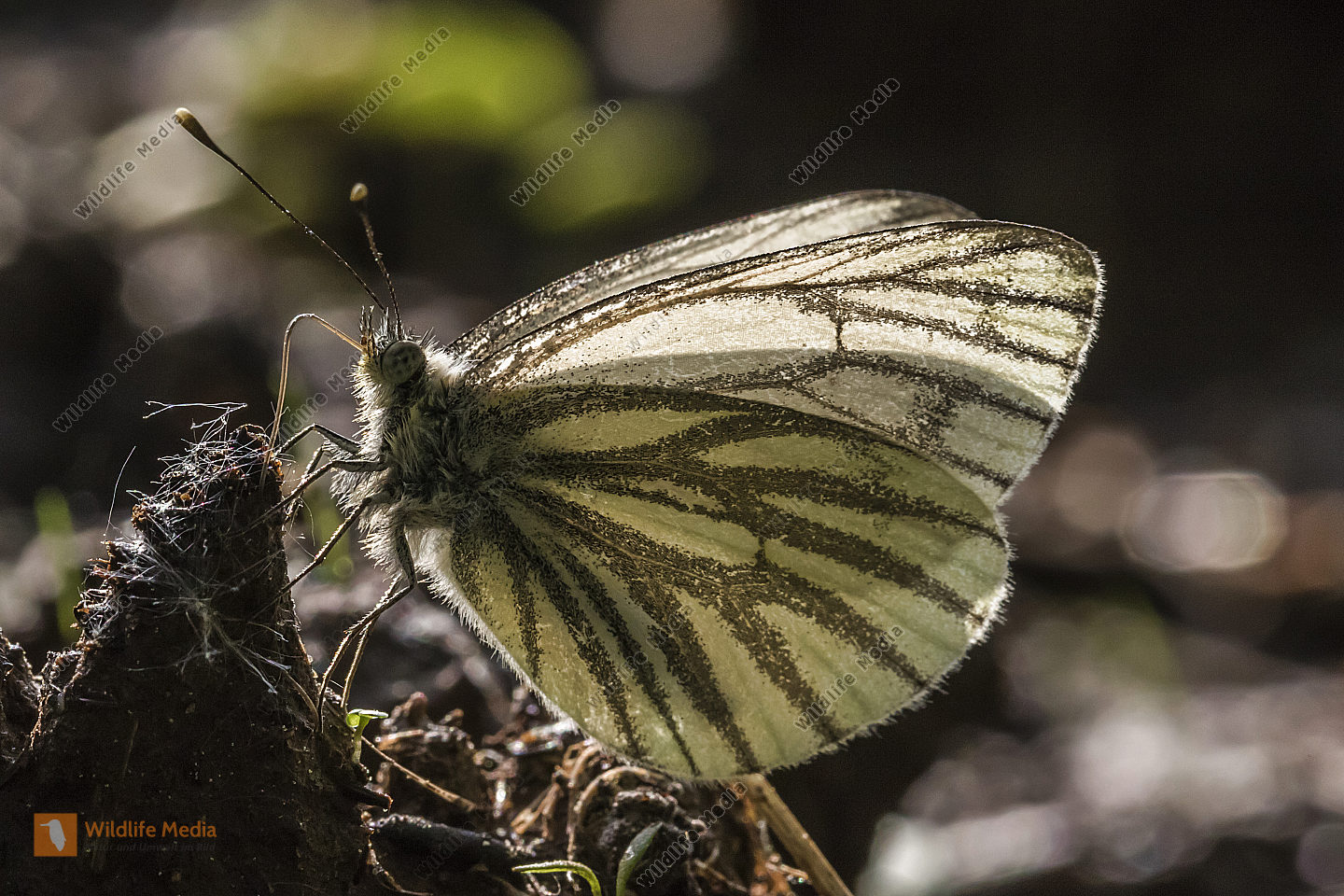 A green-veined white against the light