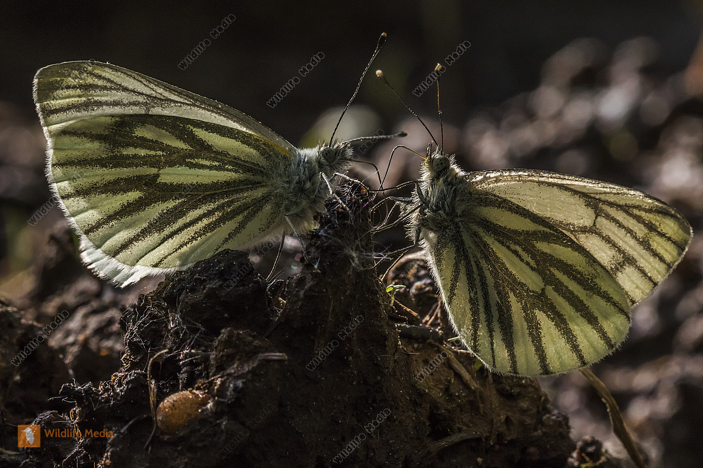 Two  green-veined whites against the light