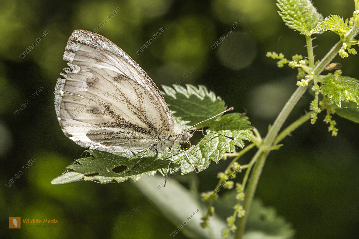 A green-veined white is sitting on a leaf