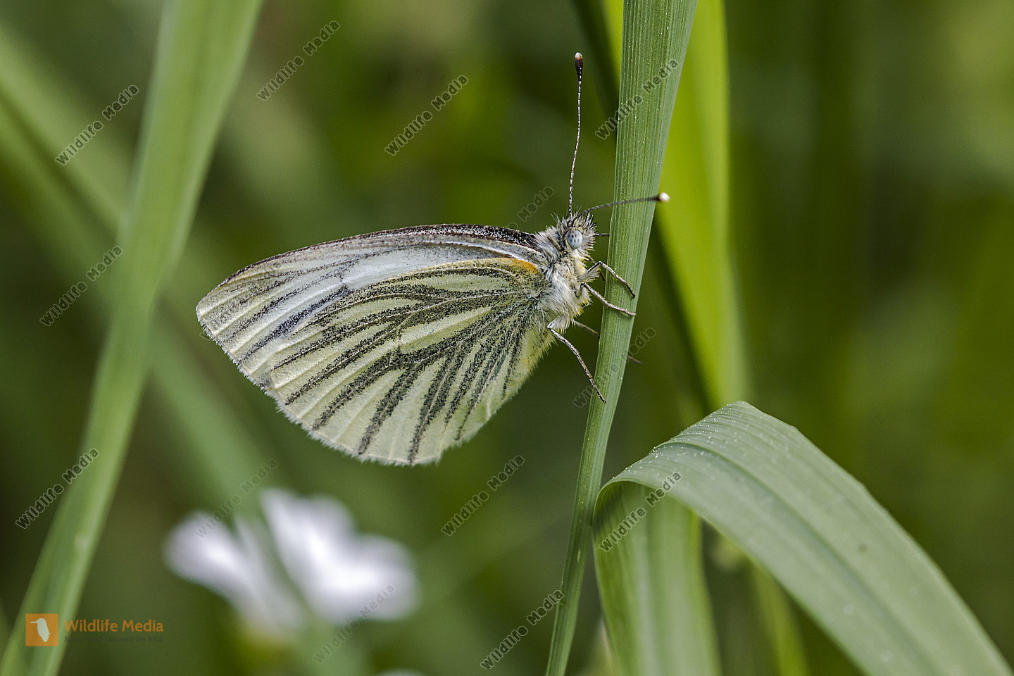A green-veined white is sitting on a grass-stock