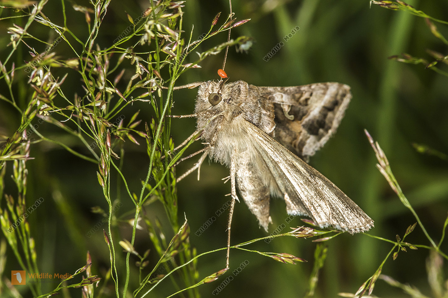 A silver Y moth is sitting on a grass-stock