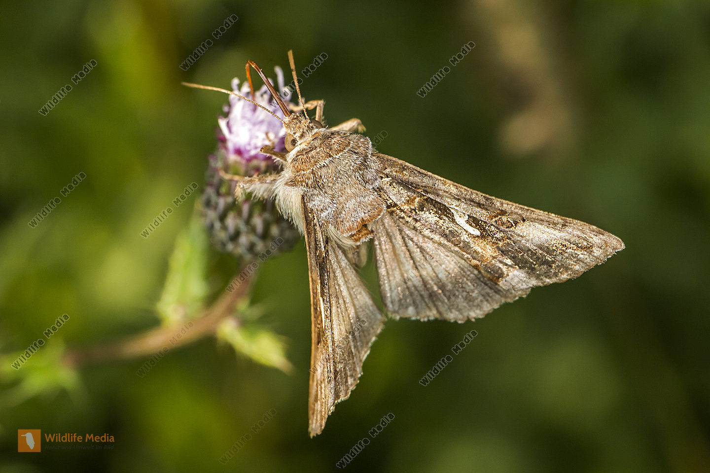 A silver Y moth suckles on a flower