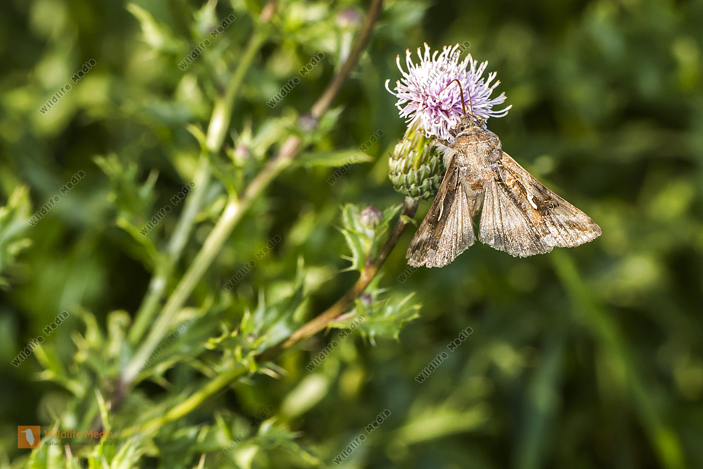 A silver Y moth suckles on a flower