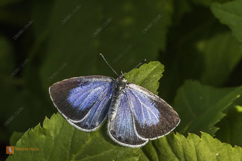 A silver-studded blue is sitting on a leaf