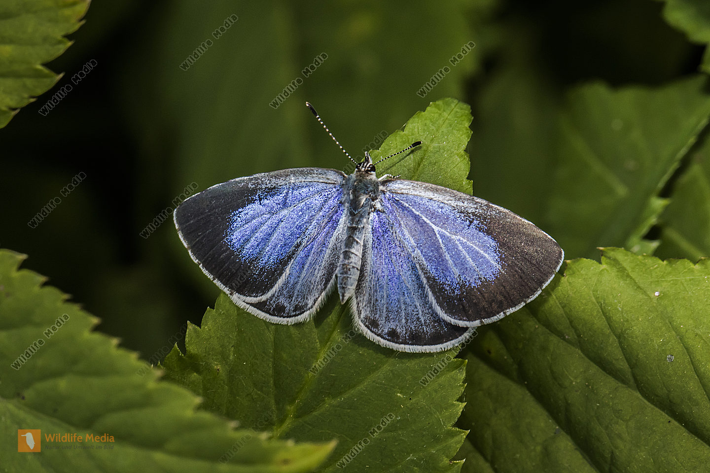 A silver-studded blue is sitting on a leaf