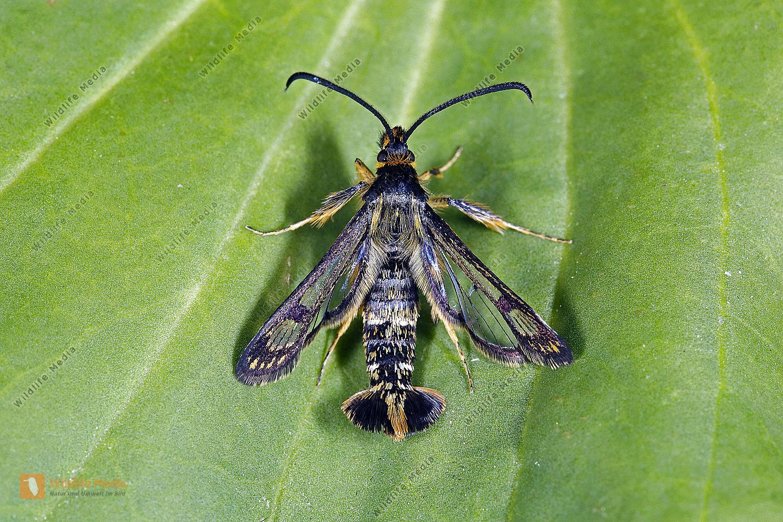 Ungarischer Glasflügler Männchen