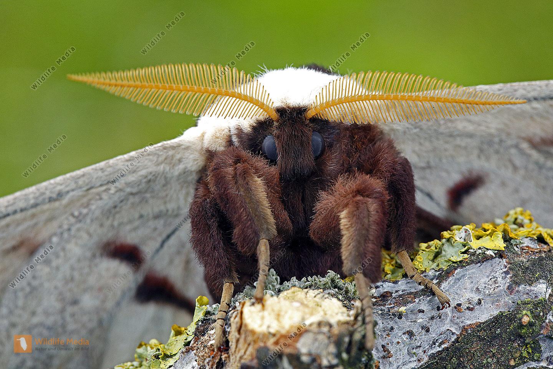 Wiener Nachtpfauenauge Männchen